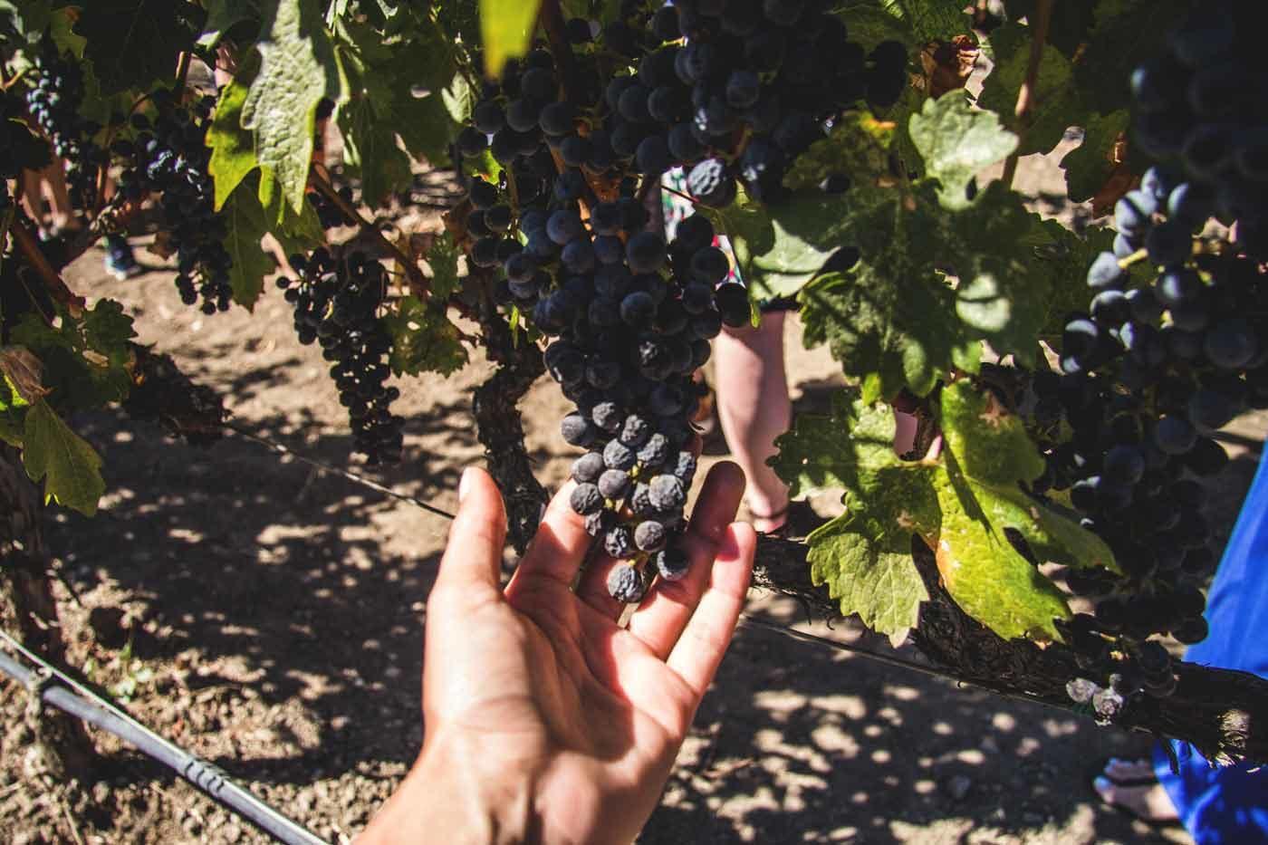 Wine-Train,-Napa-Valley-16